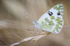 Бабочка на листьях и зеленоватой белизне Стоковое Изображение