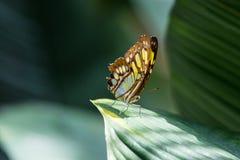 Бабочка на листьях Стоковое фото RF
