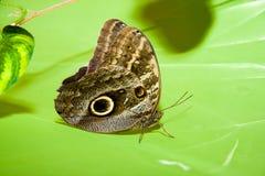 Бабочка на лист Стоковая Фотография