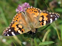 Бабочка на клевере Стоковые Изображения