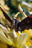 Бабочка на конце цветка вверх Стоковые Фотографии RF