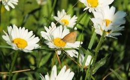 Бабочка на колесе маргаритки Стоковые Изображения