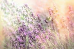 Бабочка на красивом цветке лаванды, селективном фокусе на белой бабочке, красивой природе Стоковое Изображение