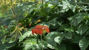 Бабочка на красном цветке сток-видео