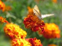 Бабочка на красных померанцовых цветках ноготк стоковые изображения