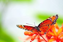 Бабочка на красных цветках, Флорида солдата Стоковое фото RF
