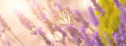 Бабочка на лаванде Буше Стоковые Фото
