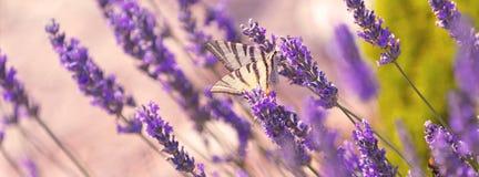 Бабочка на лаванде Буше Стоковое Фото