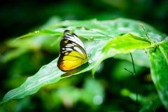 Бабочка на лист в лесе Стоковое фото RF