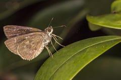 Бабочка на лист крайности конца фото макроса вверх - бабочки на лист Стоковая Фотография RF