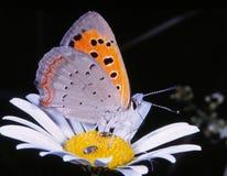 Бабочка на маргаритке (phlaeas голубянок) Стоковые Фотографии RF