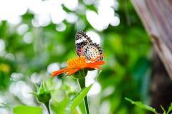 Бабочка на мексиканском солнцецвете Стоковая Фотография RF