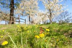 Бабочка на одуванчике Стоковая Фотография RF