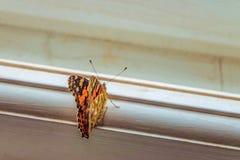 Бабочка на окне Стоковая Фотография
