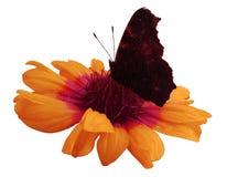 Бабочка на оранжевой белизне цветка изолировала предпосылку с путем клиппирования closeup Отсутствие теней Стоковое Фото