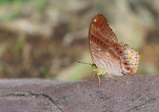 бабочка на одичалом Стоковая Фотография
