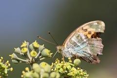 Бабочка на плюще Стоковое Фото