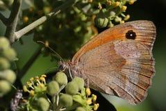 Бабочка на плюще Стоковые Изображения RF