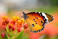 Бабочка на померанцовом цветке стоковая фотография