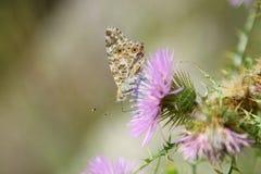 Бабочка на полевом цветке стоковая фотография rf
