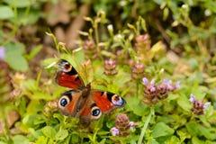 Бабочка на полевом цветке стоковое изображение rf