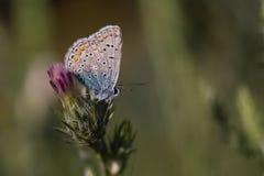 Бабочка на пурпуровом цветке Стоковые Фото