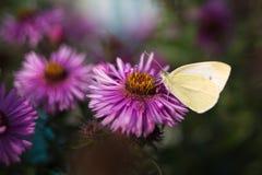 Бабочка на пурпуровом цветке Стоковые Изображения