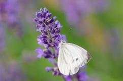 Бабочка на пурпуровом цветке Стоковая Фотография RF