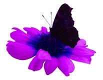 Бабочка на розовой белизне цветка изолировала предпосылку с путем клиппирования closeup Отсутствие теней Стоковые Изображения RF