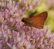 Бабочка на розовом крупном плане цветка Стоковые Фотографии RF