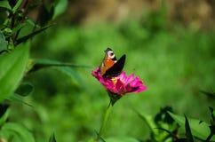 Бабочка на розовом цветке Стоковое фото RF
