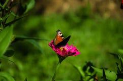 Бабочка на розовом цветке Стоковое Изображение RF