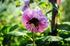 Бабочка на розовом цветке Стоковая Фотография
