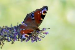 Бабочка на сирени Стоковое Фото