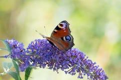 Бабочка на сирени Стоковые Изображения