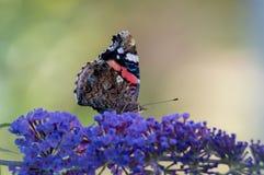 Бабочка на сирени Стоковое Изображение RF