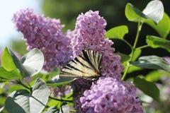 Бабочка на сирени Стоковая Фотография