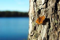 Бабочка на сосне Стоковые Изображения