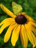 Бабочка на солнцецвете Стоковое Изображение
