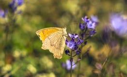 Бабочка на траве осени Стоковые Изображения