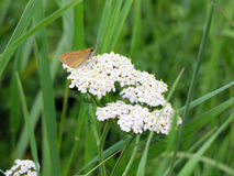 Бабочка на тысячелистнике обыкновенном цветка Стоковые Изображения RF