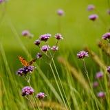 Бабочка на вербене стоковая фотография