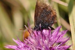 Бабочка на фиолетовом цветке поля Стоковое фото RF