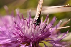 Бабочка на фиолетовом цветке поля Стоковое Изображение