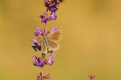 Бабочка на фиолетовом полевом цветке Стоковое Изображение