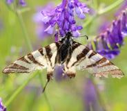 Бабочка на фиолетовом цветке весной, макрос Стоковые Изображения RF