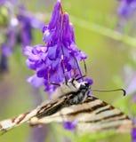 Бабочка на фиолетовом цветке весной, макрос Стоковые Фото