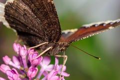 Бабочка на фиолетовом цветке сирени Стоковая Фотография RF