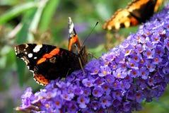 Бабочка на фиолетовом цветке Стоковые Изображения