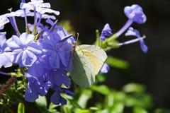 Бабочка на фиолетовом flower-4 Стоковая Фотография RF